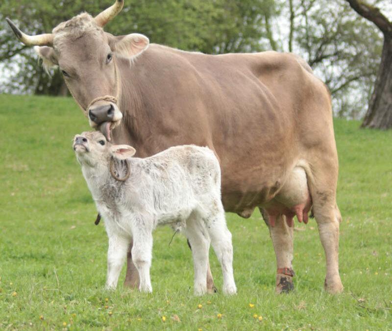 Praktikertag zur Muttergebundenen Kälberaufzucht
