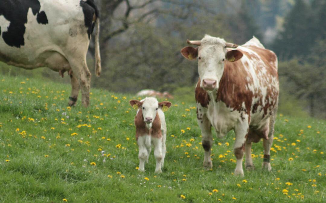 Praxis – Dialog Kuhgebundene Kälberaufzucht